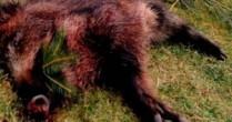 Masacru în pădurile din Botoșani, 6 mistreți uciși de braconieri
