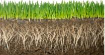 Gerul ramane un pericol pentru culturile de toamna