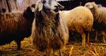 Subventii ovine: Platile pentru ovine incep din luna ianuarie