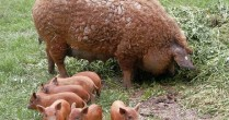 """Mangaliţa – """"porcul-somon"""" sau """"uleiul de măsline cu patru picioare"""""""