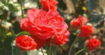 Idee de afacere: 10.000 de euro/hectar din trandafiri pentru dulceaţă