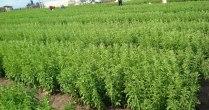 Stevia dulce, o afacere de succes si beneficii miraculoase